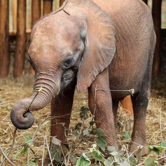 Maisha, David Sheldrick Wildlife Trust